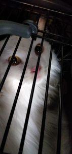 ネコのオシラ君 2歳